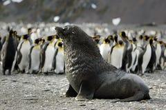Lobo marino/Pelzrobben Fotos de archivo libres de regalías