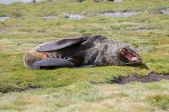 Lobo marino que bosteza fotografía de archivo