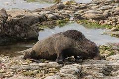 Lobo marino que busca para la comida Imagenes de archivo