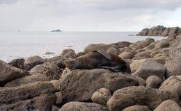 Lobo marino que descansa sobre una roca grande Imagenes de archivo
