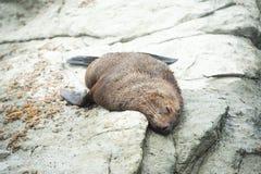 Lobo marino que duerme en la orilla, Kaikoura imagenes de archivo