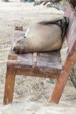 Lobo marino que se relaja en un banco, islas de las Islas Galápagos Imagen de archivo