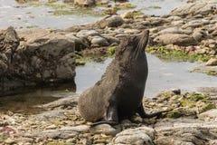 Lobo marino que toma el sol Imágenes de archivo libres de regalías