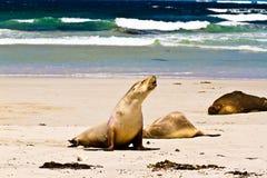 Lobo marino salvaje Foto de archivo libre de regalías