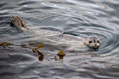 Lobo marino salvaje de California en la bahía de Monterey, California Foto de archivo libre de regalías
