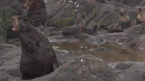 Lobo marino septentrional almacen de video