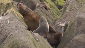 Lobo marino septentrional metrajes