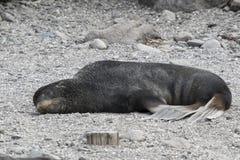 Lobo marino septentrional masculino que miente en la costa fotografía de archivo