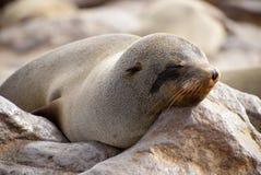 Lobo marino soñoliento del cabo Imágenes de archivo libres de regalías