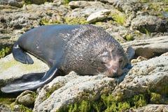 Lobo marino soñoliento en la playa fotos de archivo