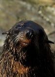 Lobo marino surafricano (pusillus del Arctocephalus) Fotografía de archivo