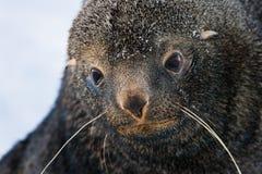 Lobo marino triste Imagen de archivo libre de regalías