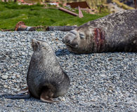 Lobo marino y sello de elefante en la isla de Stomness Fotos de archivo