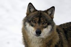 Lobo marrón y blanco joven Fotos de archivo