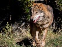 Lobo masculino que mueve alrededor una granja Fotografía de archivo
