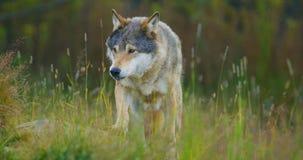 Lobo masculino salvaje que camina en la hierba en el bosque almacen de metraje de vídeo
