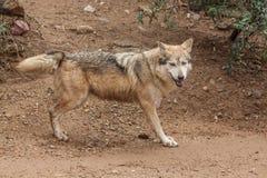 Lobo mexicano Fotos de archivo libres de regalías