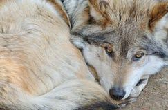 Lobo mexicano Imagen de archivo libre de regalías