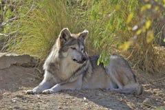 Lobo mexicano acostado Foto de archivo