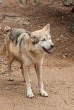 Lobo mexicano alerta Imágenes de archivo libres de regalías