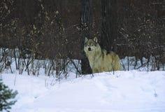 Lobo na escova fotos de stock