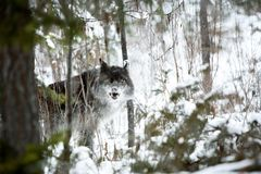 Lobo na neve Fotos de Stock Royalty Free