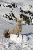 Lobo na neve fotografia de stock royalty free