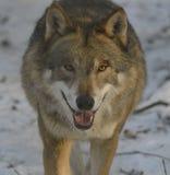 Lobo na neve Fotos de Stock