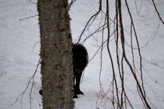 Lobo negro detrás de un árbol foto de archivo