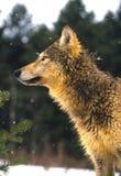 Lobo no inverno Imagens de Stock Royalty Free