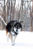 Lobo no inverno Fotos de Stock Royalty Free