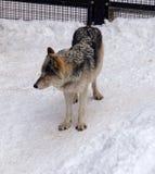 Lobo no jardim zoológico de Sapporo Maruyama, Hokkaido Japão fotos de stock