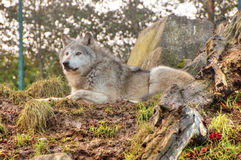 Lobo no protetor Fotos de Stock Royalty Free