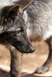 Lobo norteamericano Fotos de archivo