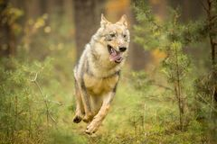 Lobo novo Fotografia de Stock