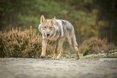 Lobo novo foto de stock