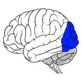 Lobo occipitale della vista laterale di anatomia del cervello umano piana Illustrazione di Stock