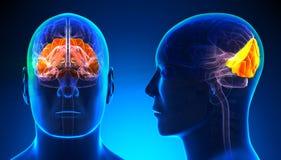 Lobo occipitale maschio Brain Anatomy - concetto blu illustrazione vettoriale