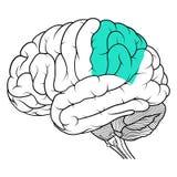 Lobo parietale della vista laterale di anatomia del cervello umano piana illustrazione di stock