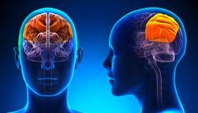 Lobo parietale femminile Brain Anatomy - concetto blu illustrazione di stock