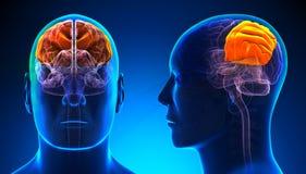 Lobo parietale maschio Brain Anatomy - concetto blu royalty illustrazione gratis