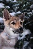 Lobo pequeno Imagem de Stock Royalty Free