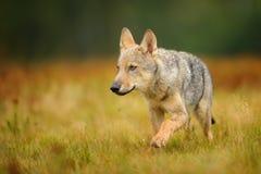 Lobo pequeno na grama amarela Fotos de Stock Royalty Free