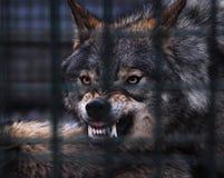Lobo perigoso cinzento com os dentes brancos grandes fotos de stock