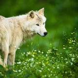 Lobo polar ártico o White Wolf del lobo aka Imagenes de archivo