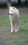 Lobo polar 2 Imagen de archivo libre de regalías