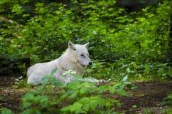 Lobo polar Imagen de archivo libre de regalías