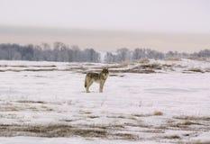 Lobo polar (albus del lupus de Canis) Imagen de archivo libre de regalías