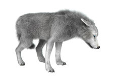 lobo polar del ejemplo 3D en blanco Imagen de archivo