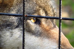 Lobo por la jaula, ojos tristes Foto de archivo libre de regalías